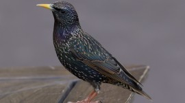 Starling Wallpaper Free