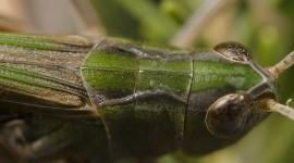 Stenobothrus Photo