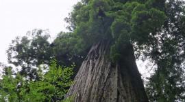 Tall Trees Wallpaper 1080p
