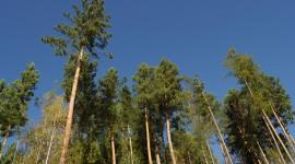 Tall Trees Wallpaper