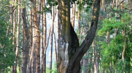 Tall Trees Wallpaper Download Free