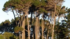 Tall Trees Wallpaper For Desktop