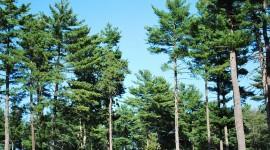 Tall Trees Wallpaper Free
