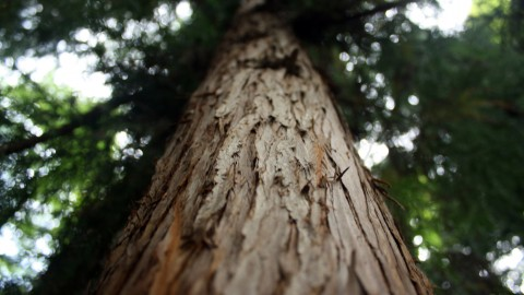 Tall Trees wallpapers high quality