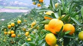 Tangerines Photo