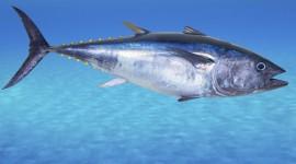 Tuna Best Wallpaper