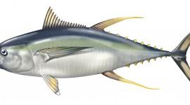 Tuna Wallpaper