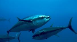 Tuna Wallpaper High Definition