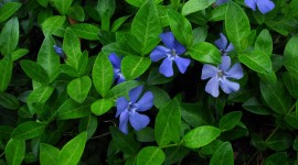 Vinca Minor Photo Download
