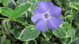 Vinca Minor Photo Download#1