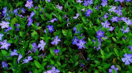 Vinca Minor Wallpaper Download