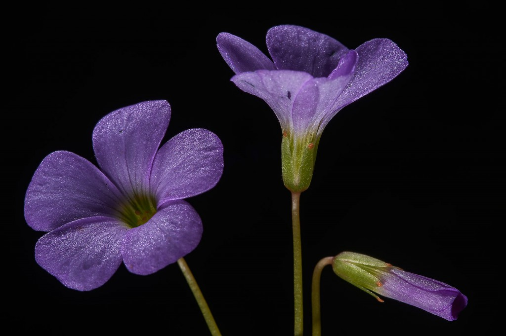 Wood Violet wallpapers HD