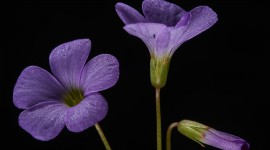 Wood Violet Best Wallpaper