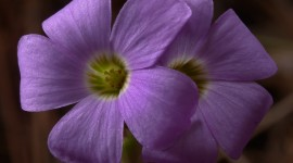 Wood Violet Desktop Wallpaper