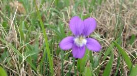 Wood Violet Photo