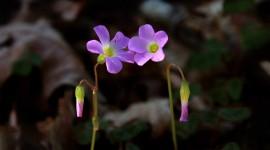 Wood Violet Photo Download