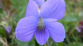 Wood Violet Photo Free#1