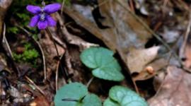 Wood Violet Photo#1