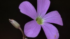 Wood Violet Wallpaper
