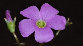 Wood Violet Wallpaper For Desktop