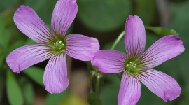 Wood Violet Wallpaper For PC