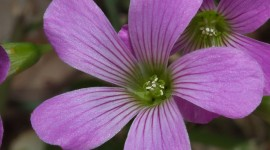 Wood Violet Wallpaper Gallery