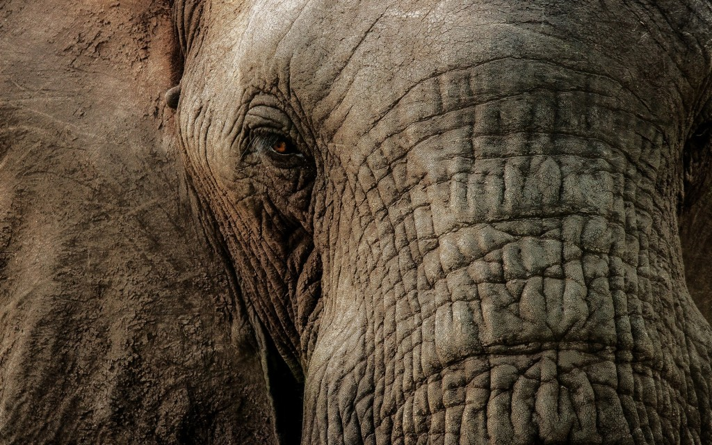 4K Elephant wallpapers HD