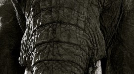 4K Elephant Wallpaper For IPhone Free