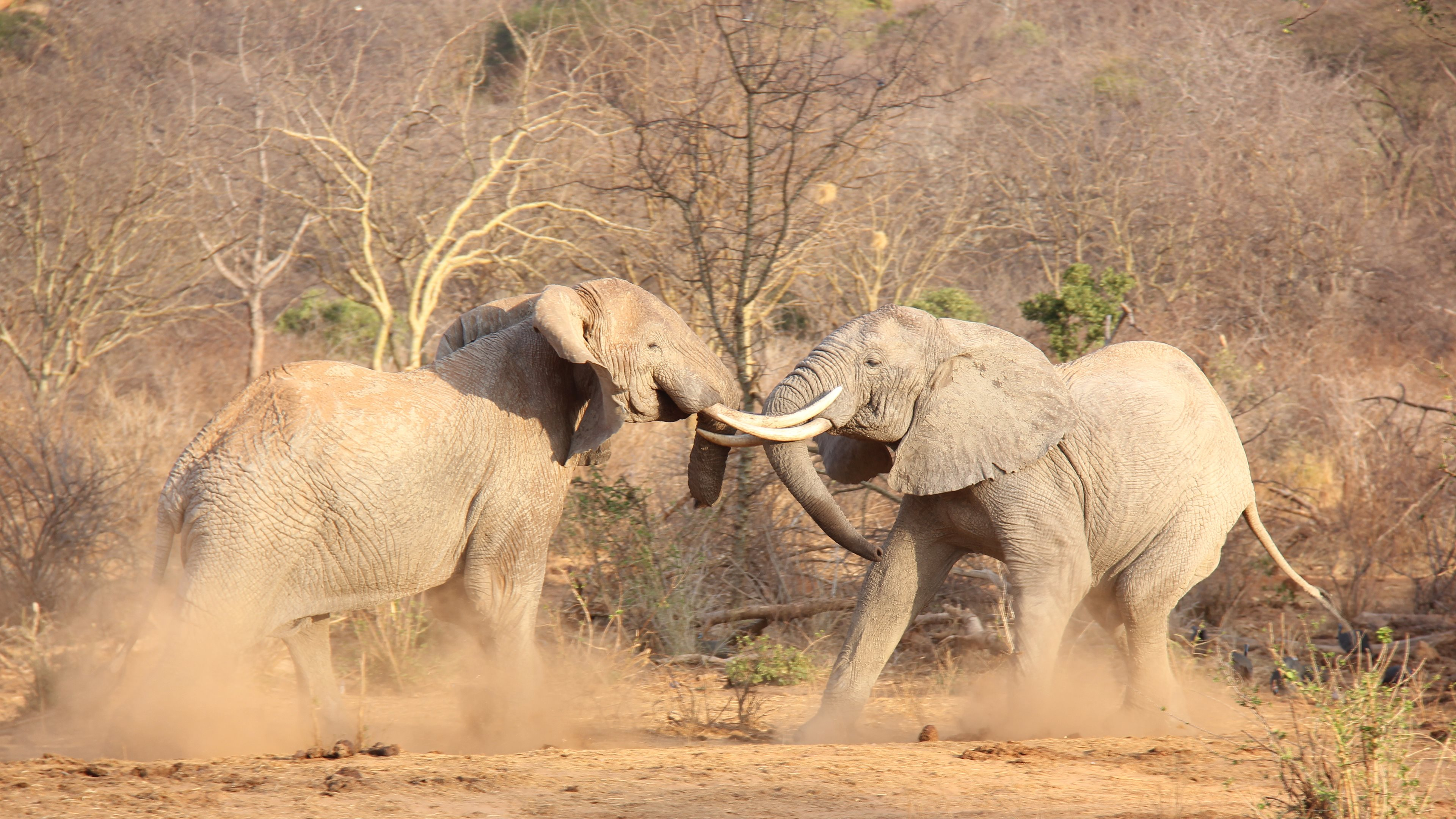 Must see Wallpaper High Quality Elephant - 4K-Elephant-Wallpaper-Gallery  Pic_463961.jpg
