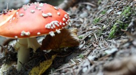 4K Fly Agaric Photo Free