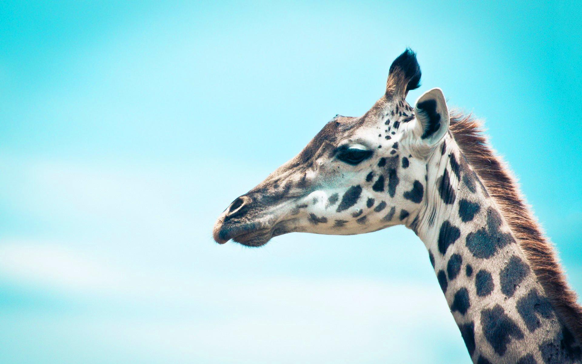 4K Giraffe Wallpapers High Quality