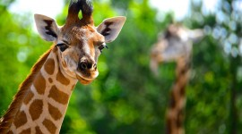 4K Giraffe Photo Download
