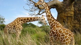 4K Giraffe Photo Free
