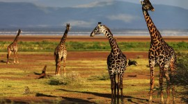 4K Giraffe Wallpaper Download