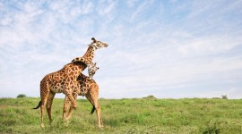 4K Giraffe Wallpaper Download Free