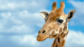 4K Giraffe Wallpaper Free