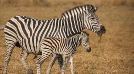 4K Zebra Photo