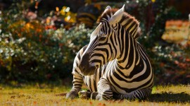 4K Zebra Photo Download