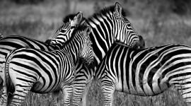 4K Zebra Photo Free