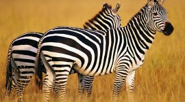 4K Zebra Wallpaper Download