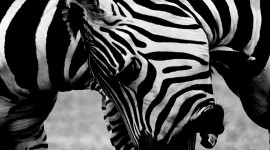 4K Zebra Wallpaper For Mobile
