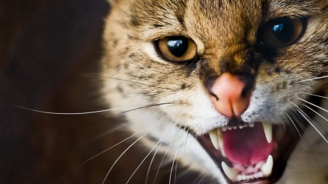 Angry Cat wallpapers high quality