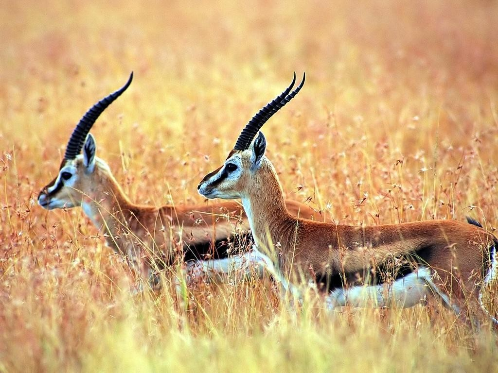 Antelope wallpapers HD