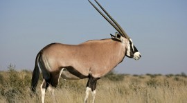 Antelope Photo Free#1