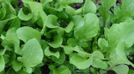 Arugula Wallpaper Download Free