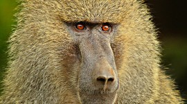 Baboon Desktop Wallpaper