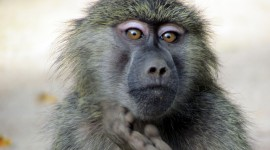 Baboon High Quality Wallpaper