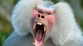 Baboon Wallpaper Background