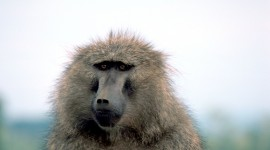 Baboon Wallpaper Download