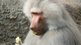 Baboon Wallpaper Download Free
